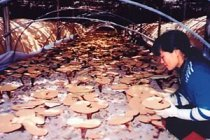 Ganoderma Cultivation